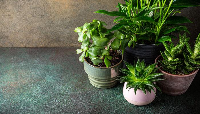 ۱۷ درختچه و گیاه آپارتمانی که اتاق نشیمن شما را سرسبز میکند